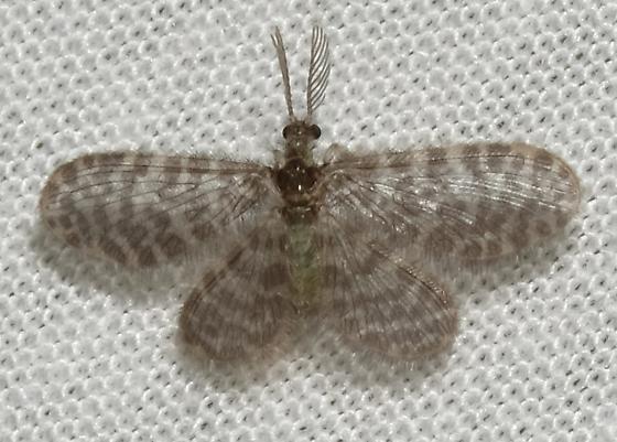 Identification? - Nallachius americanus - male