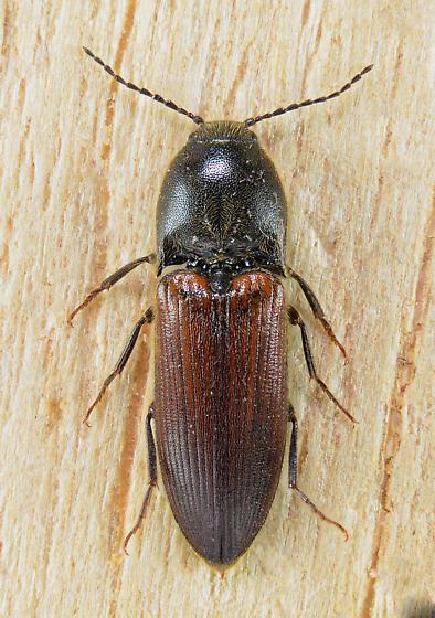 Ampedus phoenicopterus? - Ampedus - male