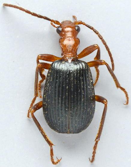 20150513CC02 Brachinus - Brachinus geniculatus