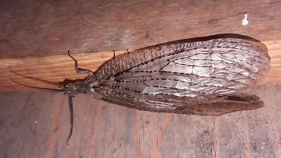 Summer Fish Fly - Chauliodes pectinicornis - Chauliodes pectinicornis