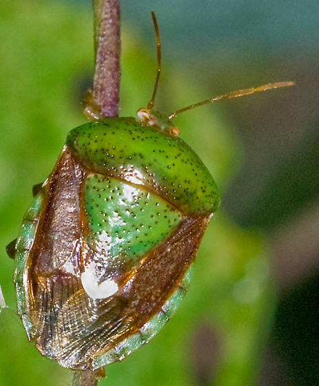 I am guessing it's some kind of stink bug - Edessa bifida