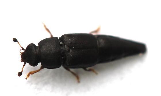 Conotelus obscurus