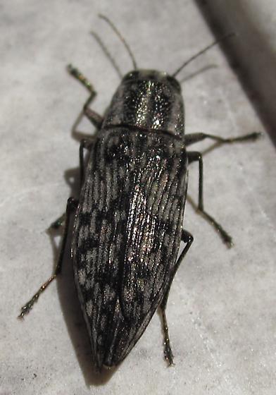 Black and Grey Bug - Spectralia gracilipes