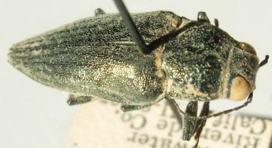 Gyascutus planicosta