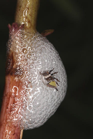 Membracidae, Wide-footed Treehopper nymph - Campylenchia latipes