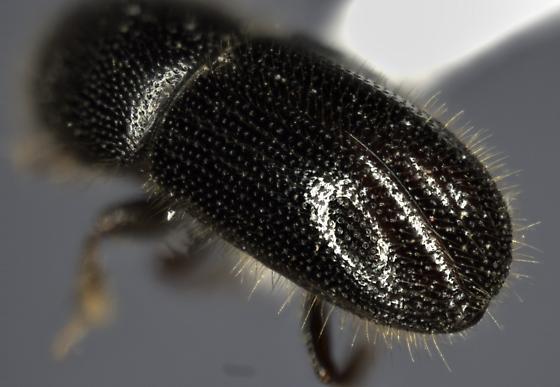bark beetle - Ambrosiophilus atratus