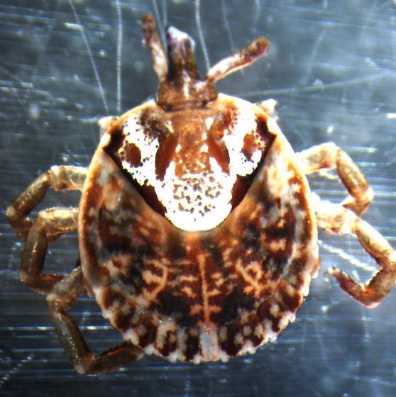 Non-native tick - Amblyomma cajennense - female