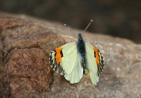 is this a Sara orange Tip? - Anthocharis sara - female