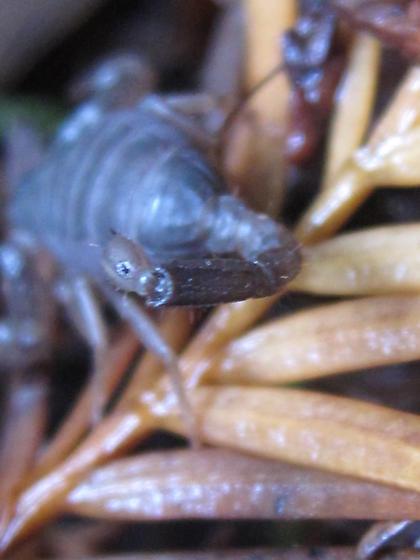 Forest Scorpion - Uroctonus mordax