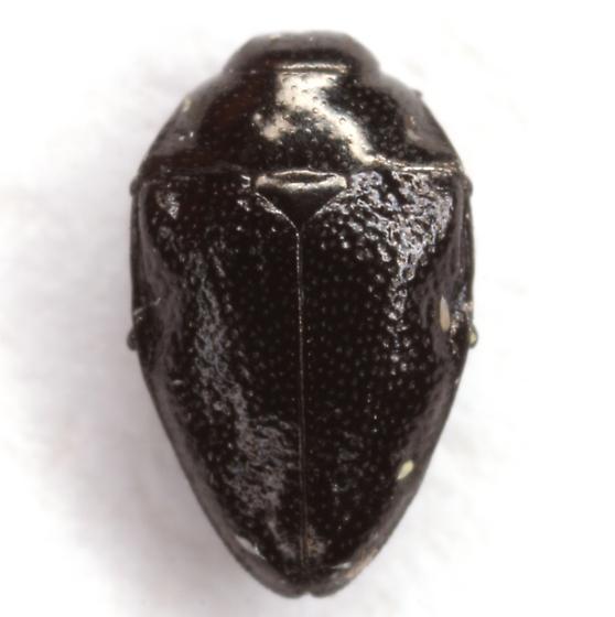 Pachyschelus laevigatus (Say) - Pachyschelus laevigatus