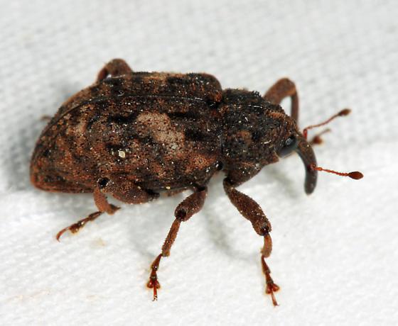 weevil - Cryptorhynchus fuscatus