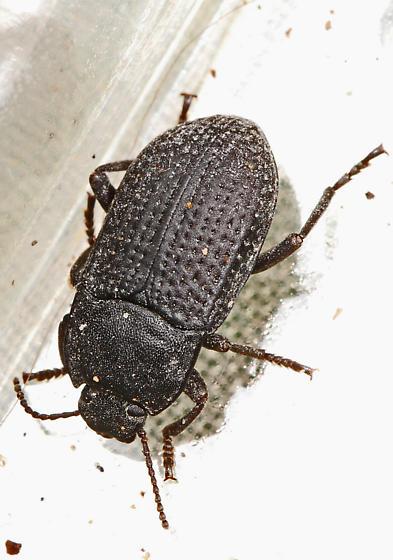 Beetle - attracted to light - Alaetrinus minimus
