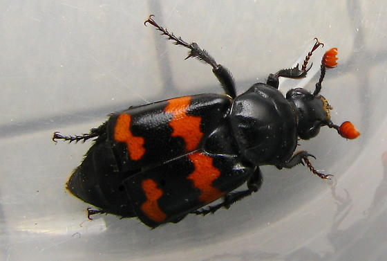 Sexton Beetle - Nicrophorus guttula