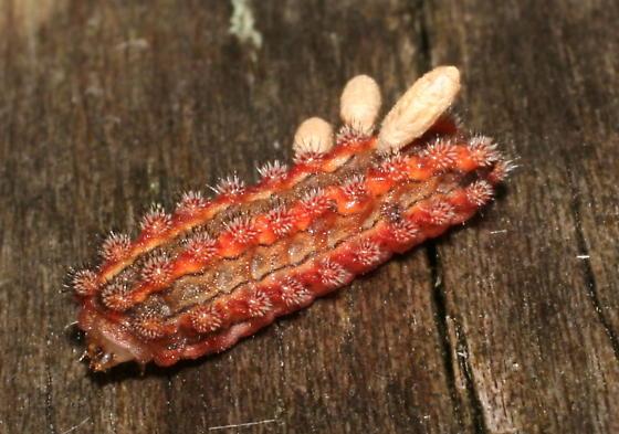 Pin-striped Vermilion Slug - Monoleuca semifascia