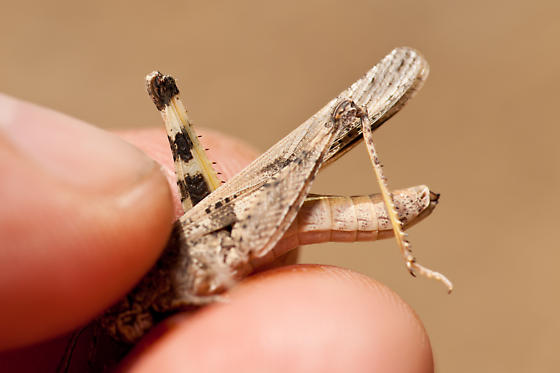 Groove-Headed Grasshopper ? (Conozoa sulcifrons) - Conozoa sulcifrons - female