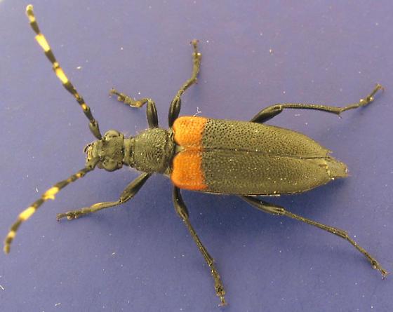 Stictoleptura c. canadensis - Stictoleptura canadensis - female