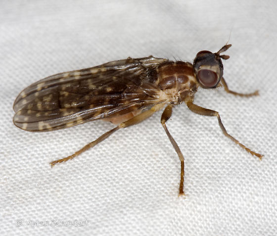 Another S. nelsoni  from the AZ gathering - Sphecomyiella nelsoni