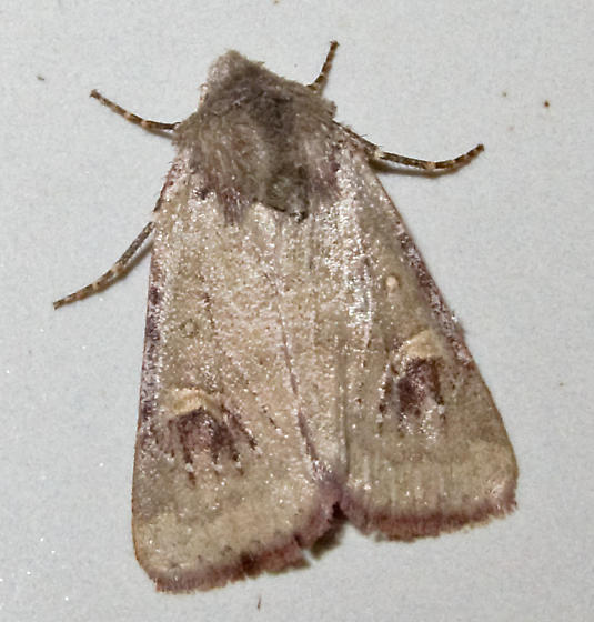 Unidentified Moth 1 - Eucoptocnemis fimbriaris