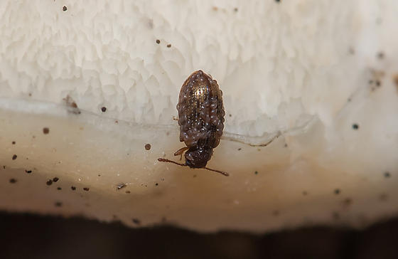 Derodontus maculata - Derodontus