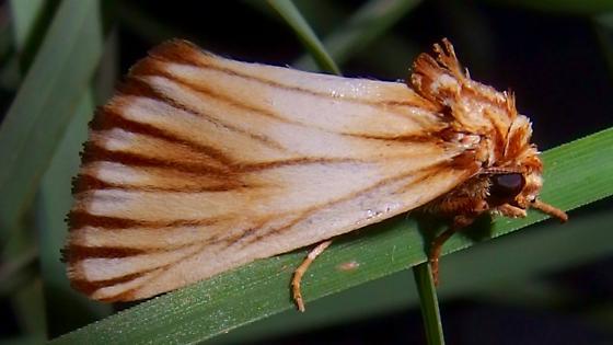 Eulithosia discistriga