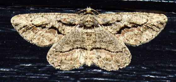 Please help us to identify this moth. - Anavitrinella atristrigaria - male