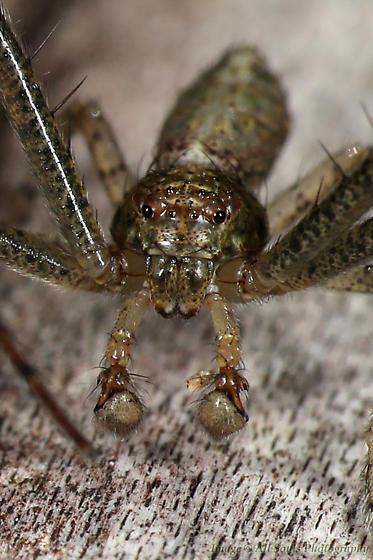 Crab Spider - Tmarus Floridensis - Tmarus floridensis - male