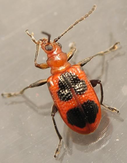 Orange and Black Beetle - ID? - Neolema cordata