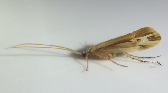 Limnephilus ornatus - male