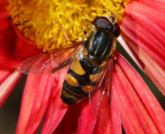 unidentified Syrphidae - Helophilus fasciatus
