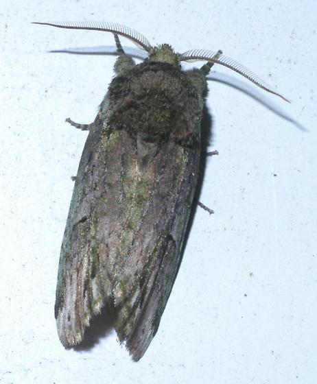 Brown and green moth - Schizura unicornis - male