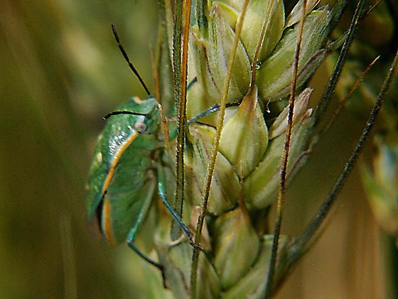 large green stink bug - Chlorochroa sayi