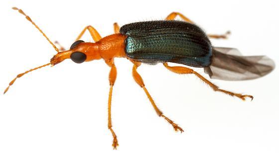 Eugnamptus nigriventris? - Eugnamptus nigriventris