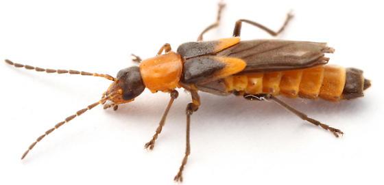 little beetle (cantharid?) with shortened elytra - Belotus abdominalis