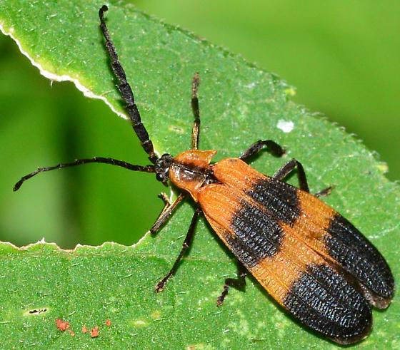 Banded Net-wing? - Calopteron
