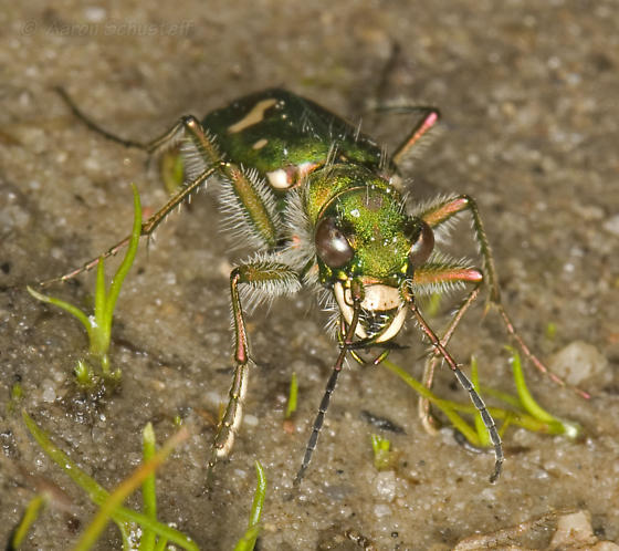 Ohlone Tiger Beetle Feeding - Cicindela ohlone - male