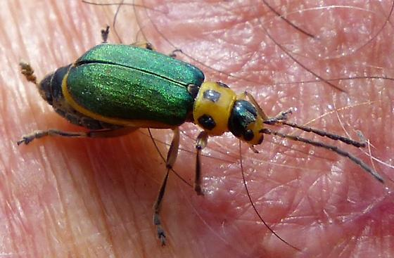Green and yellow beetle - Trirhabda flavolimbata