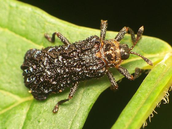 Octotoma Beetle - Octotoma plicatula