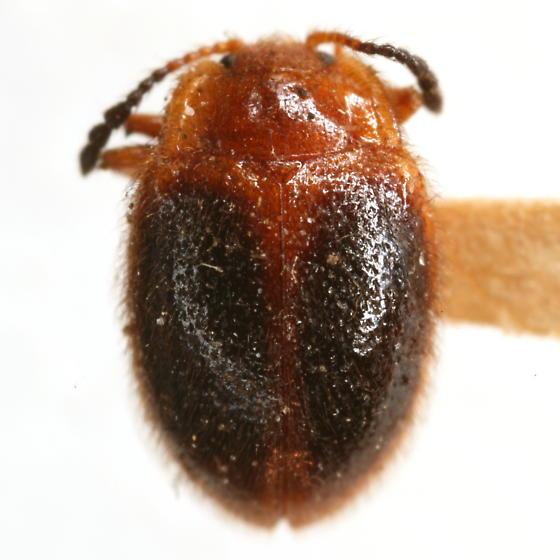 Stenotarsus hispidus (Herbst) - Stenotarsus hispidus