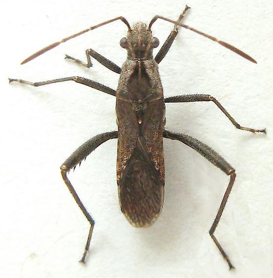 Broad-headed Bug - Tollius