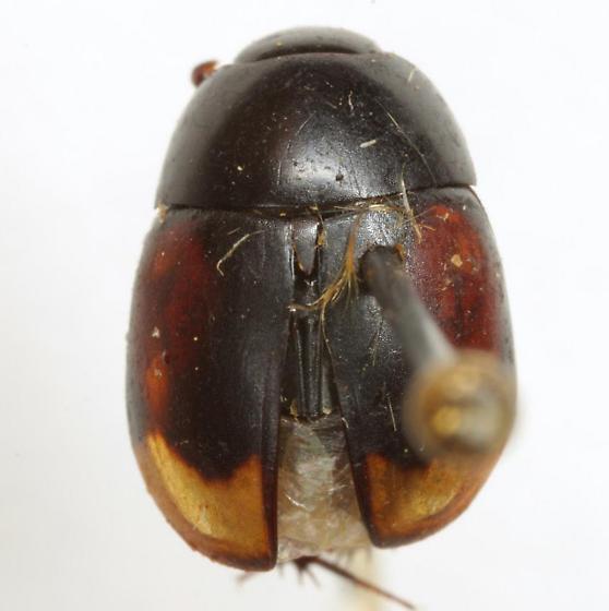 Sphaeridium - Sphaeridium bipustulatum