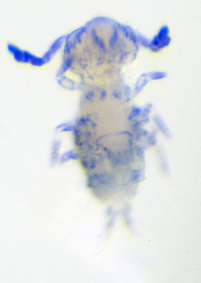 Another possible Calvatomina sp.5 Janssens & Snyder 2014 ?? - Calvatomina