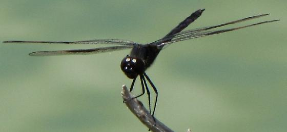 All-black Dragonfly