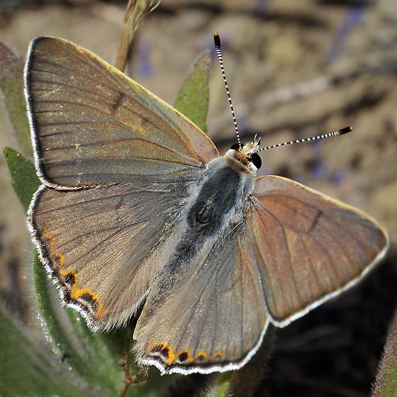 Great Copper - Lycaena xanthoides - male
