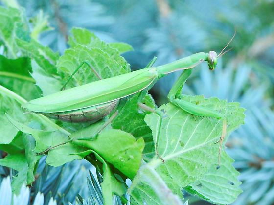 Mantis religiosa - European Mantis - Mantis religiosa - female