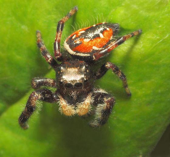 orange-black jumper - Phidippus clarus - male