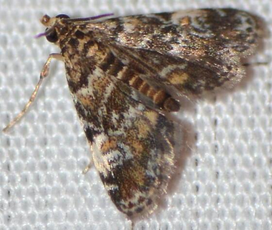4755 – Elophila obliteralis                                                                     - Elophila obliteralis