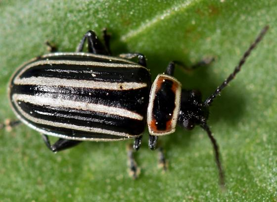 Pennsylvania Flea Beetle - Disonycha pensylvanica