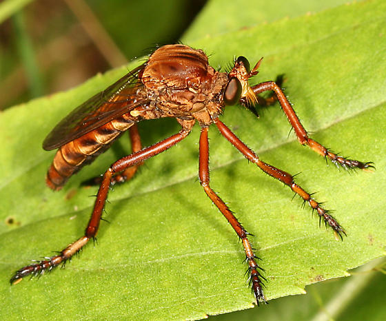 robber fly - Diogmites discolor
