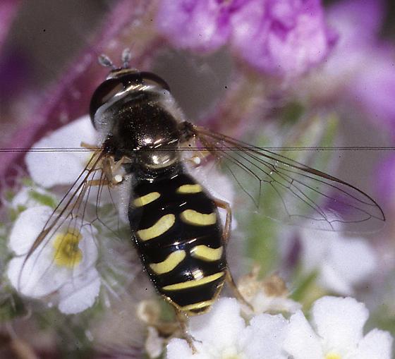 Eupeodes probably volucris  - Eupeodes volucris - female