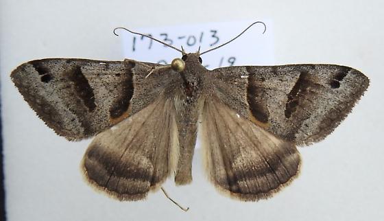 Caenurgina erechtea - Forage Looper - Hodges#8739 - Caenurgina erechtea - male